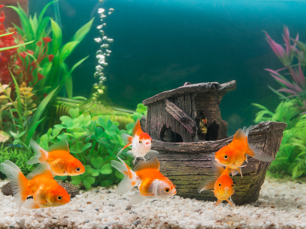 aquarium_fish_goldfish
